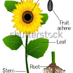 Sunflower Plant Life Cycle Diagram Ice Ignition System Wiring Of Free For You Roots Stock Images Royalty Printable Stages