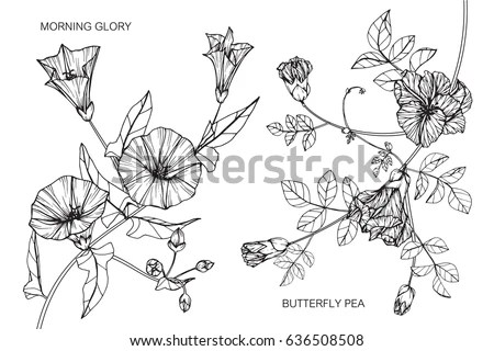 Morning Glory Stock Vectors, Images & Vector Art
