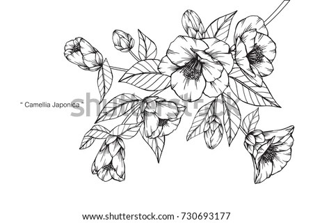 Camellia Japonica Stock Images, Royalty-Free Images