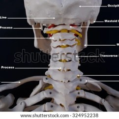 Human Skull Bones Diagram Labeled Motion Sensor Light Wiring Australia Occipital Stock Images, Royalty-free Images & Vectors | Shutterstock