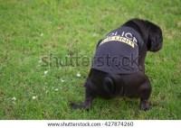 Fawn Pug Dog Wearing Police K9 Stock Photo 469693148 ...