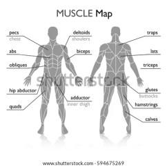 Arm Muscles Anatomy Diagram Blank Speaker Wiring 6 Ohm Body Vector Stock 594675269 - Shutterstock
