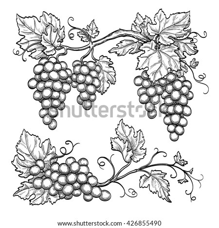 Grapevine Stock Images, Royalty-Free Images & Vectors