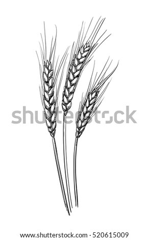 Hand Drawn Vector Illustration Wheat Isolated Stock Vector