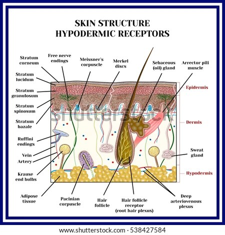 old skin anatomy characterized by presence stock vector shutterstock