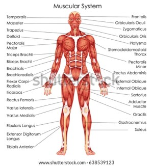 Muscular System Stock Images, RoyaltyFree Images