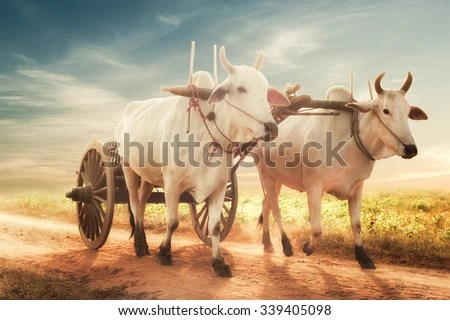 Bull Cart Stock Images. Royalty-Free Images & Vectors | Shutterstock