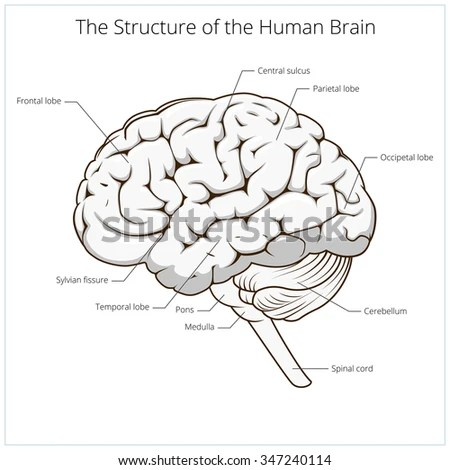 Structure Of Human Brain Schematic Vector By Apokusay