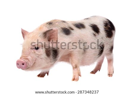 Miniature Pig Stock Images RoyaltyFree Images  Vectors