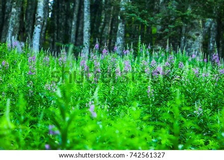 Willow Herb Stock Images Royalty Free Images Amp Vectors Shutterstock