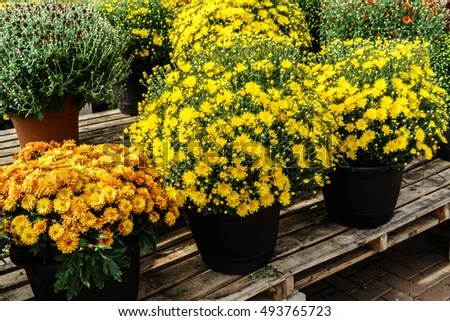 Free Fall Mums Wallpaper Potted Mums Stock Images Royalty Free Images Amp Vectors