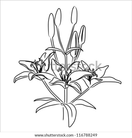 Blooming Asiatic Lily Three Flower Bouquet Stock Vector