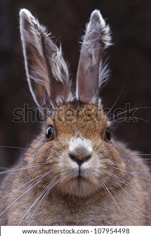 Rabbit Face Stock Photos Images Amp Pictures Shutterstock