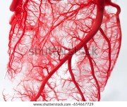 blood vessel system heart