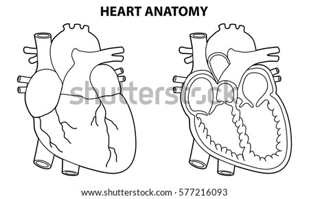 Heart Anatomy Outline Illustration Vector Stock Vector