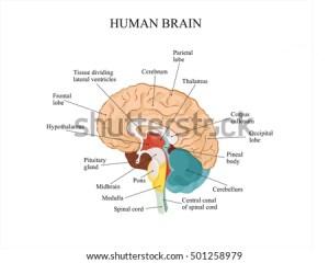 Human Brain Anatomy Structure Stock Vector 501258979  Shutterstock