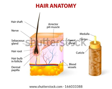 follicle stock images royalty free images vectors shutterstock