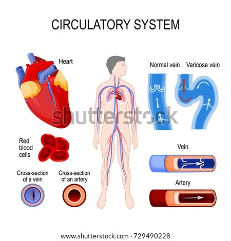 diagram of a heart bypass graft house insulation spleen anatomy illustration showing trabecular tissue stock 281111384 - shutterstock