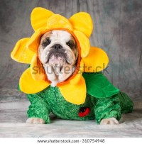 Dog Costume Stock Images, Royalty-Free Images & Vectors ...