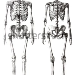 Arm Bones And Muscles Diagram Thermo King V300 Wiring Anatomical Drawing Stock Photos, Images, & Pictures | Shutterstock