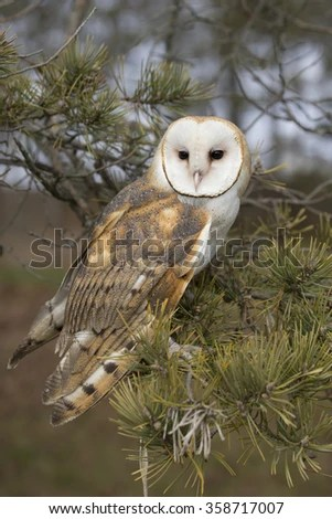 Cute Barn Tyto Owl Wallpaper Barn Owl Silhouette Stock Images Royalty Free Images