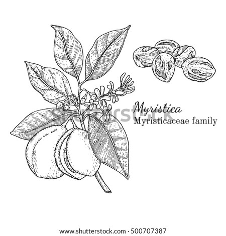 Figs Tree Brunch Vector Hand Drawing Stock Vector