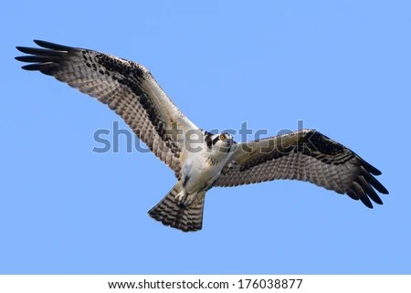 Bald Eagle Nesting Platform Eagle Landing Stock Photo