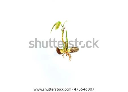 Horse Bean Sprouting Growing Stock Photo 136261703