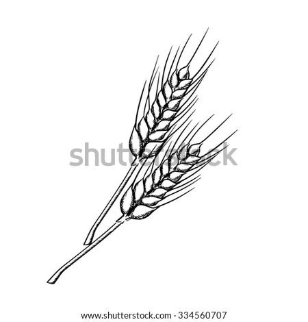 Vector Hand Drawn Wheat Ears Sketch Stock Vector 534313336