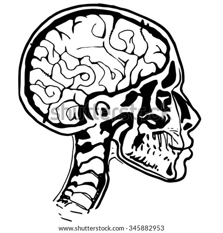 Contour Line Drawing Anatomical Head Vector Stock Vector