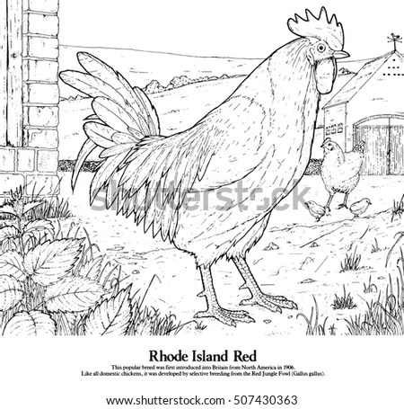 Rhode Island Red One Series Drawings Stock Illustration