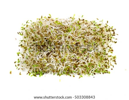 sprouted alfalfa seeds isolated