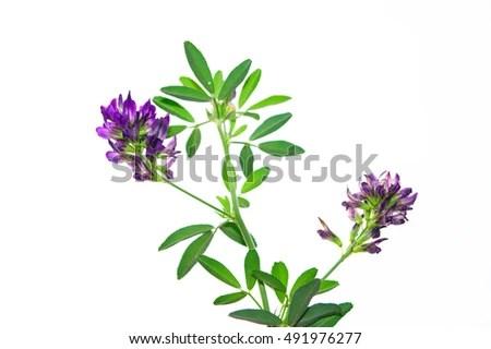 alfalfa medicago sativa stock