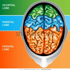 Human Brain Diagram Cerebrum What Is Process Flow In Software Left Right Functions Stock Illustration 100849285 - Shutterstock