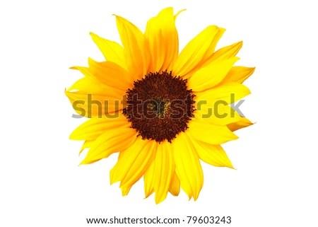 borders sunflowers