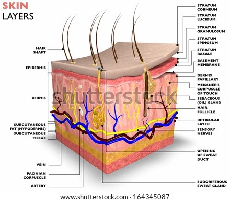 7 layers of skin diagram obd2 vr6 wiring and electrical schematic anatomy stock illustration 191017379 shutterstock simple layer