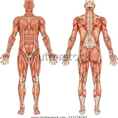 Unlabeled Muscles Diagram Blank Castle With Labels Anatomy Male Muscular System Posterior Anterior Image Vectorielle 111578147 - Shutterstock