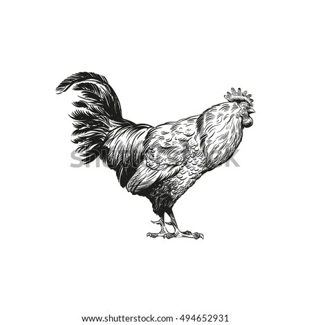 Realistic Rooster Cock Hand Drawn Vintage Stock