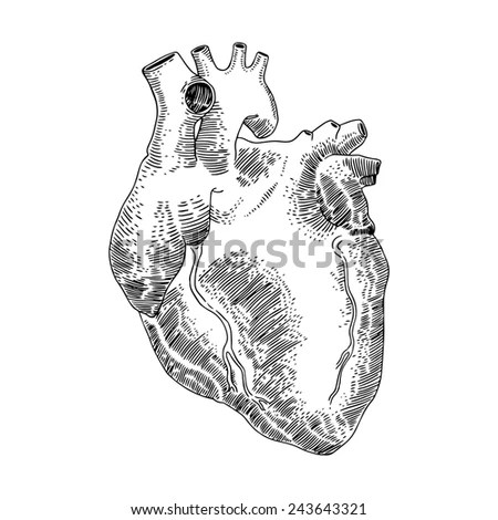 Anatomical Heart Stock Photos, Royalty-Free Images