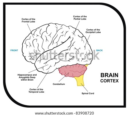 Human Brain Functional Infographic Including All Stock