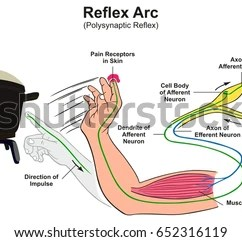 Diagram Of A Simple Reflex Arc Wiring Rj45 To Rj11 Stimulus Free For You Receptor Stock Images Royalty Vectors Patellar