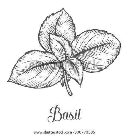 Basil Illustration Stock Images, Royalty-Free Images
