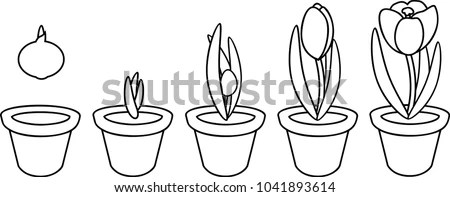 Coloring Page Crocus Life Cycle Stages Stock Vector