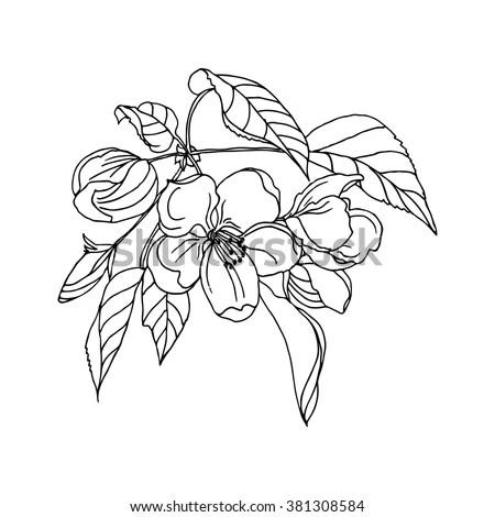 Apple Flower Blossom Botanical Vector Illustration Stock