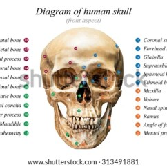 Names Of Bones In Human Skeleton Diagram Cat5e Wall Socket Wiring Skull Anatomy Stock Images, Royalty-free Images & Vectors | Shutterstock