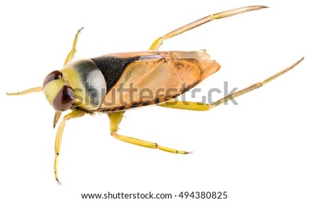 backswimmer stock royalty-free
