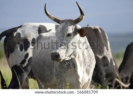 Inguni Cow - stock photo