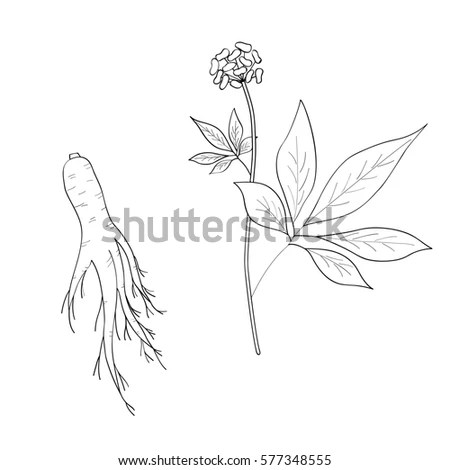 Isolated Daisy Chamomile Flower Stem Simple Stock Vector