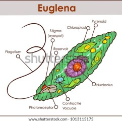 Rotifer Diagram Labeled Honda Cb400 Super Four Wiring Paramecium Great Installation Of Mitochondrion Stock Images Royalty Free Vectors Euglena Amoeba