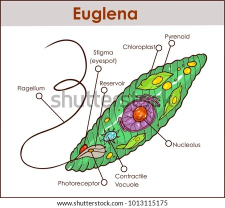 euglena diagram blank 2000 jeep cherokee wiring paramecium labeled great installation of mitochondrion stock images royalty free vectors amoeba